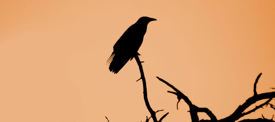 Crow silhouette sitting on a branch, morbidity omen